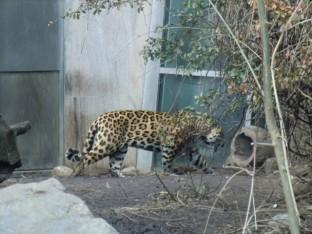 Ein Jaguar (kratzt an der Tür wie meine Katze...)