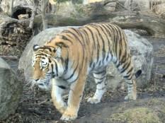 Der (nächste) Tiger ist näher als man glaubt...