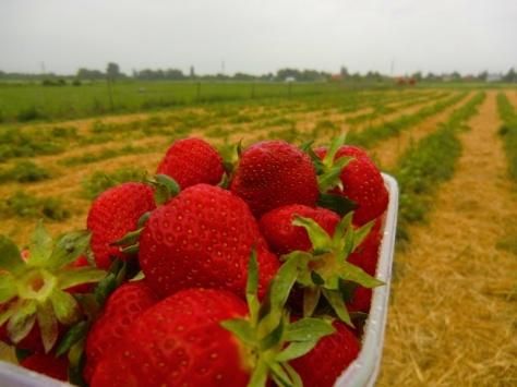 Erdbeeren im Regen.
